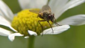 Μύγα στο λουλούδι κλείστε επάνω Στοκ εικόνα με δικαίωμα ελεύθερης χρήσης
