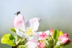 Μύγα στο λουλούδι μήλων με τη γύρη στην άνοιξη MAC ανθών της Apple Στοκ φωτογραφίες με δικαίωμα ελεύθερης χρήσης