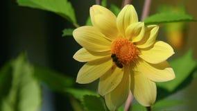 Μύγα στο λουλούδι νταλιών φιλμ μικρού μήκους