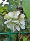 Μύγα στο λουλούδι του Blackberry Στοκ φωτογραφία με δικαίωμα ελεύθερης χρήσης
