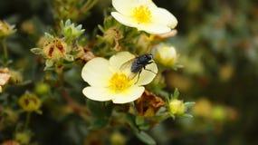 Μύγα στο λουλούδι στοκ φωτογραφία με δικαίωμα ελεύθερης χρήσης