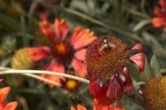 Μύγα στο λουλούδι helenium Στοκ Φωτογραφίες