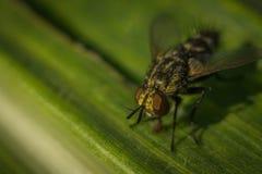Μύγα στο πράσινο υπόβαθρο Στοκ Φωτογραφία