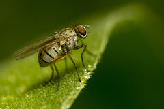 Μύγα στο πράσινο φύλλο Στοκ Εικόνες