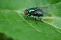 Μύγα στο φύλλο Στοκ εικόνα με δικαίωμα ελεύθερης χρήσης