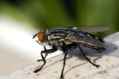 Μύγα τεράτων Στοκ εικόνα με δικαίωμα ελεύθερης χρήσης