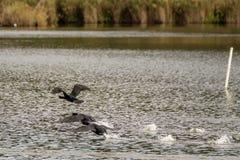 Μύγα τριών κορμοράνων από το νερό στη λίμνη Massaciuccoli, Τοσκάνη, Ιταλία στοκ φωτογραφίες με δικαίωμα ελεύθερης χρήσης