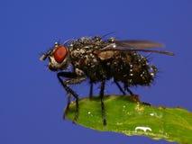 μύγα υγρή Στοκ εικόνες με δικαίωμα ελεύθερης χρήσης