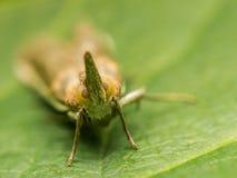 Μύγα φαναριών Στοκ Εικόνες