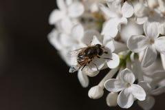 Μύγα φρούτων Στοκ Εικόνα
