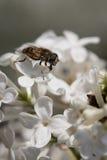 Μύγα φρούτων Στοκ φωτογραφίες με δικαίωμα ελεύθερης χρήσης