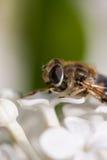 Μύγα φρούτων Στοκ φωτογραφία με δικαίωμα ελεύθερης χρήσης
