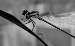 μύγα φύλλων Στοκ φωτογραφία με δικαίωμα ελεύθερης χρήσης