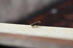 Μύγα χτυπήματος, μύγα carrion, bluebottles ή μύγα συστάδων Στοκ Φωτογραφίες