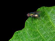 Μύγα χτυπήματος aka Calliphoridae, μύγα carrion, bluebottle, greenbottle Στοκ εικόνες με δικαίωμα ελεύθερης χρήσης