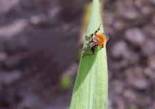 Μύγα όπως bumblebee Στοκ εικόνες με δικαίωμα ελεύθερης χρήσης