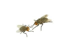 Μύγα δύο απομονωμένο στο λευκό υπόβαθρο Στοκ φωτογραφίες με δικαίωμα ελεύθερης χρήσης