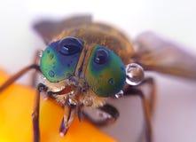 Μύγα Στοκ Εικόνες