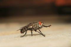 μύγα Στοκ φωτογραφίες με δικαίωμα ελεύθερης χρήσης