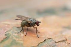 Μύγα Στοκ φωτογραφία με δικαίωμα ελεύθερης χρήσης