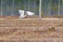 Μύγα arquata Numenius σιγλίγουρων πουλιών πέρα από το έλος Στοκ φωτογραφία με δικαίωμα ελεύθερης χρήσης