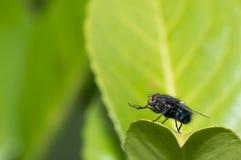 Μύγα (domestica Musca) που καθαρίζει τα πόδια του Στοκ Εικόνες