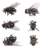 Μύγα, domestica Musca Στοκ Φωτογραφίες
