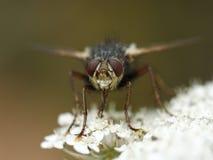 Μύγα fera Tachina Στοκ Φωτογραφία