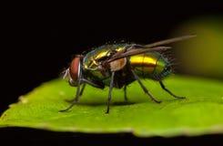 Μύγα Greenbottle Στοκ φωτογραφία με δικαίωμα ελεύθερης χρήσης