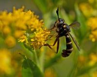 Μύγα quadrifasciatus Conops Στοκ εικόνα με δικαίωμα ελεύθερης χρήσης