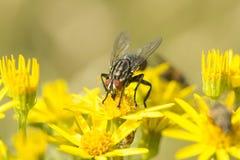 Μύγα Sarcophaga μεταξύ των λουλουδιών Ragwort Στοκ φωτογραφία με δικαίωμα ελεύθερης χρήσης