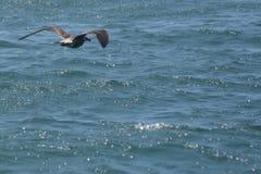 Μύγα Seagull στοκ φωτογραφίες με δικαίωμα ελεύθερης χρήσης