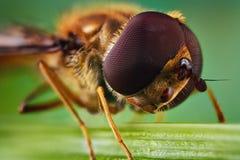 Μύγα Shinichi σε μια λεπίδα της χλόης στοκ εικόνες