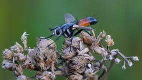 Μύγα Tachina με την πορτοκαλιά κοιλιά Στοκ Εικόνες