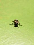 Μύγα Tachinid στοκ εικόνες