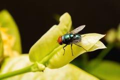 Μύγα & x28 Alliphoridae χτύπημα-μύγα, Στοκ Εικόνα
