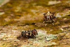 Μύγες δίπτερων Στοκ Φωτογραφίες