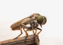 Μύγες ληστών Στοκ φωτογραφίες με δικαίωμα ελεύθερης χρήσης
