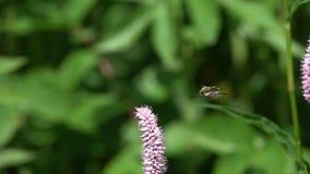 Μύγες κανθάρων στο ευρωπαϊκό του πολύγονου λουλούδι του /Bistorta officinalis/, σε αργή κίνηση απόθεμα βίντεο