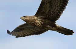 Μύγες καρακαξών πουλιών σε αναζήτηση του θηράματος στοκ εικόνες
