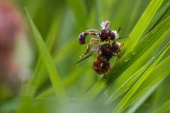 2 μύγες κατά τη διάρκεια του ζευγαρώματος στοκ φωτογραφία