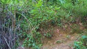 Μύγες κηφήνων πέρα από το στενό ίχνος που χάνεται στη βαθιά άγρια ζούγκλα απόθεμα βίντεο