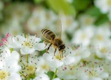 Μύγες μελισσών από το λουλούδι στο λουλούδι στοκ εικόνα