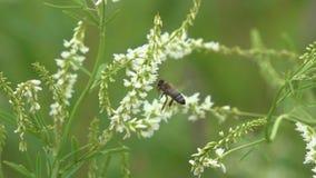 Μύγες μελισσών μεταξύ της μικρής άσπρης κινηματογράφησης σε πρώτο πλάνο λουλουδιών, σε αργή κίνηση απόθεμα βίντεο