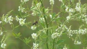 Μύγες μελισσών μεταξύ των μικρών άσπρων λουλουδιών, σε αργή κίνηση φιλμ μικρού μήκους