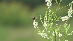 Μύγες μελισσών μεταξύ των μικρών άσπρων λουλουδιών, σε αργή κίνηση απόθεμα βίντεο