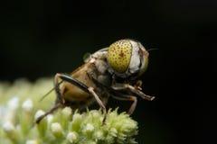 Μύγες/μύγα φρούτων Στοκ Φωτογραφίες
