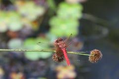 Μύγες δράκων στις άγρια περιοχές στοκ εικόνες με δικαίωμα ελεύθερης χρήσης