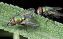 Μύγες σε μια λεπίδα της χλόης στοκ φωτογραφίες