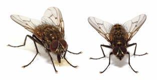 Μύγες σπιτιών στο λευκό στοκ εικόνες